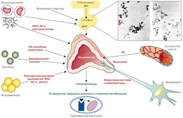 Как повысить гормон роста: симптомы недостатка и способы повышения выработки гормона роста